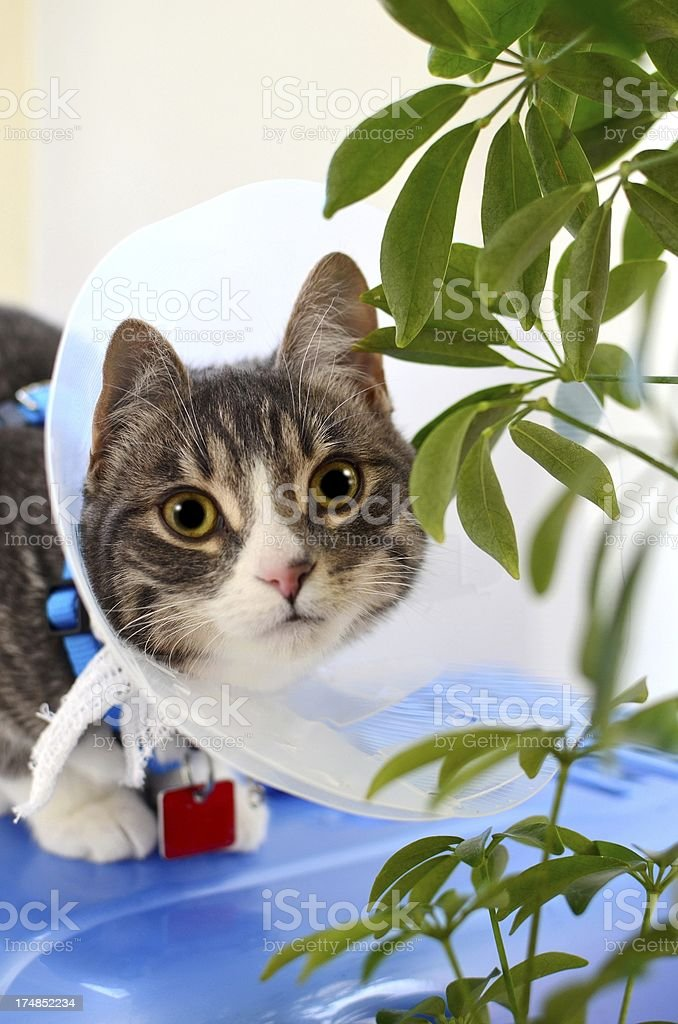 Kitten after surgery royalty-free stock photo