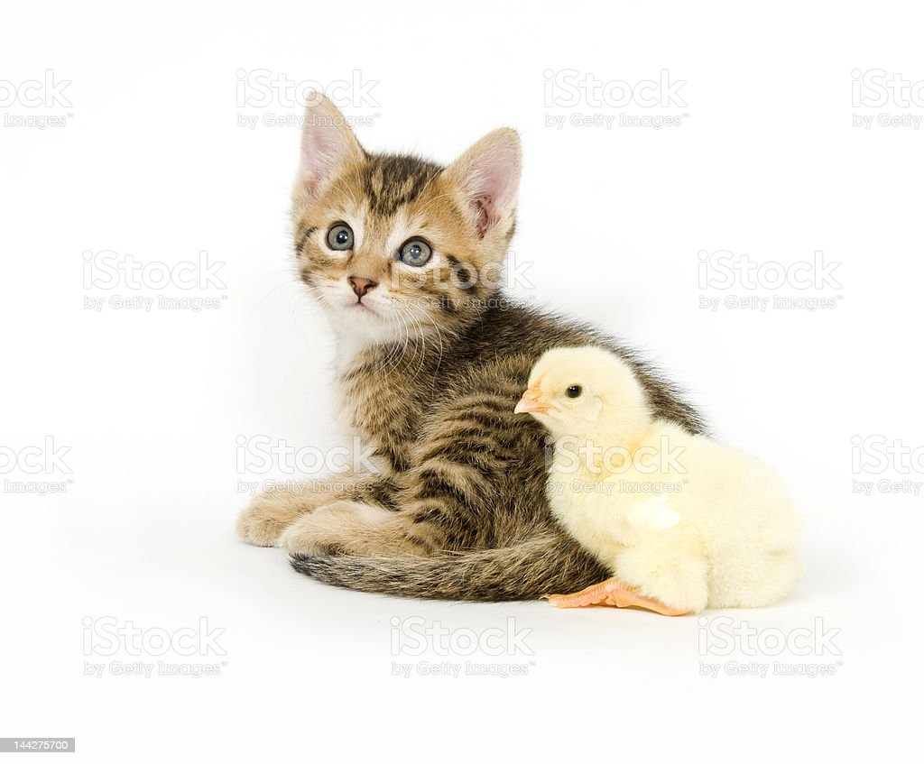 kitten and baby chick royalty-free stock photo
