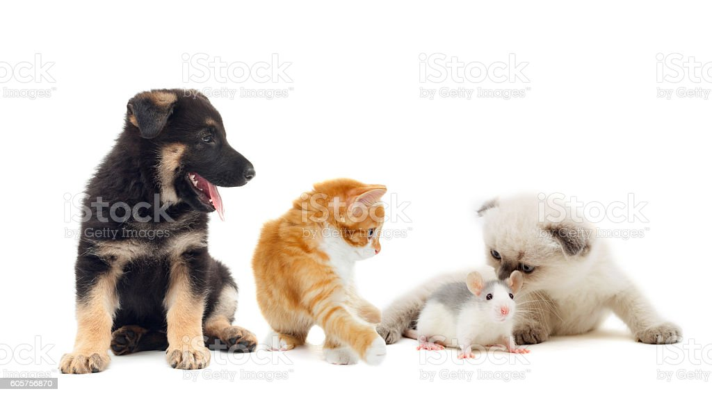kitten and baby rat and puppy together stock photo