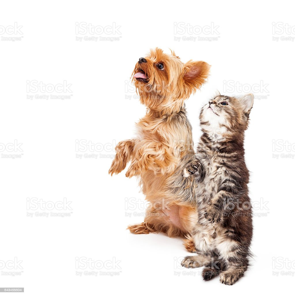 Kitten and Dog Begging Together With Copy Space stock photo