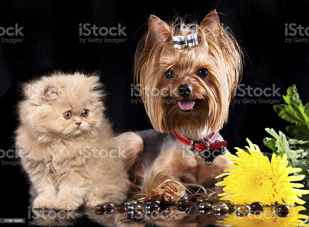 kitten and dog royalty-free stock photo