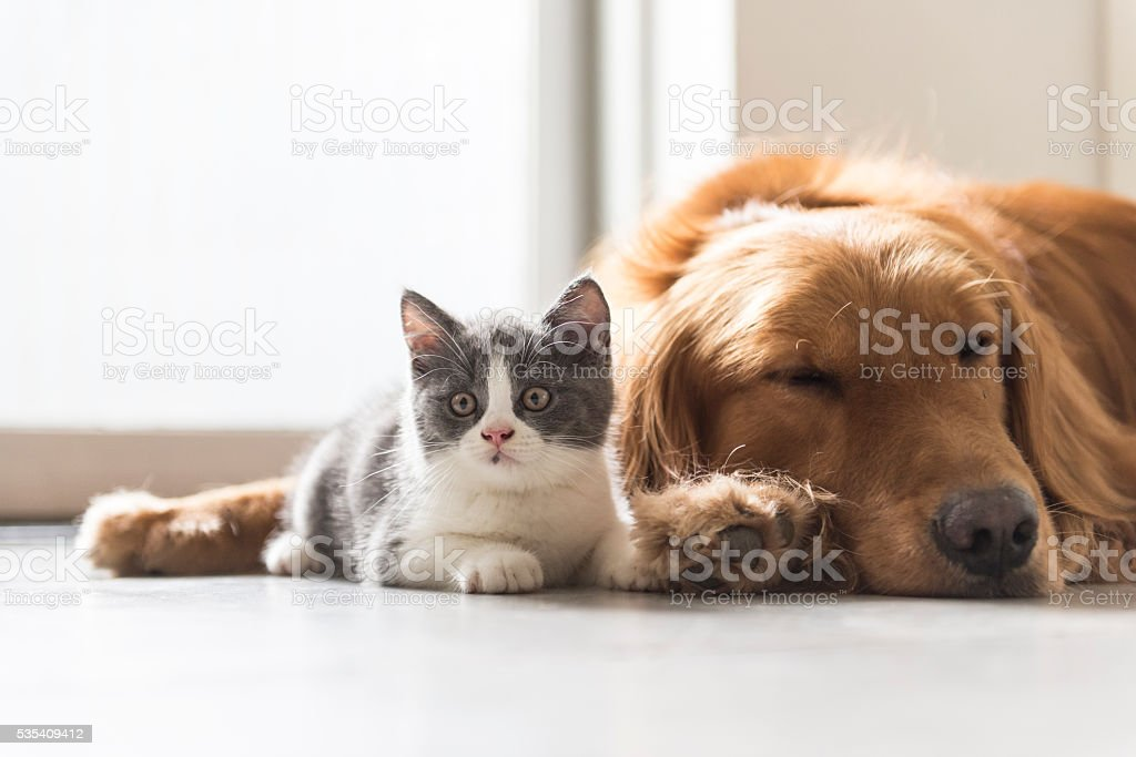 kitten and dog snuggle together stock photo