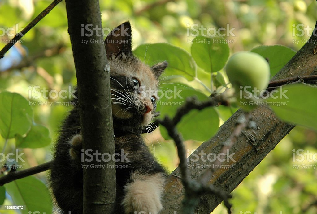 Kitten and green apple royalty-free stock photo