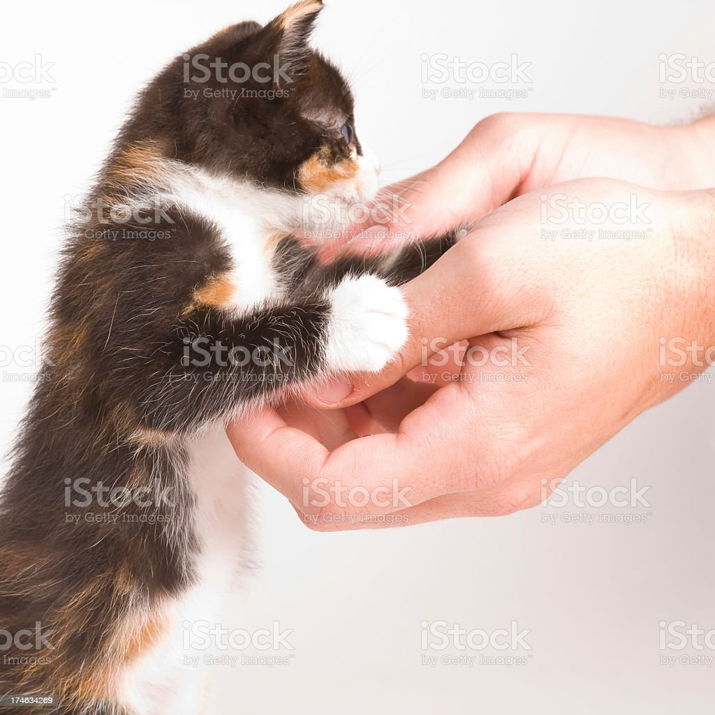 kitten and human hands royalty-free stock photo