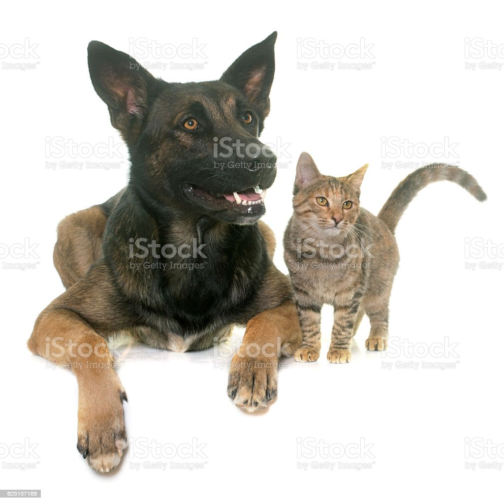 kitten and malinois stock photo