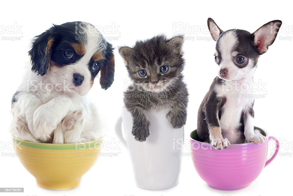 kitten and puppies in teacup stock photo