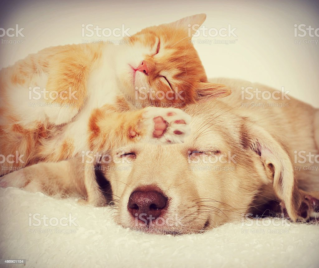 kitten and puppy sleeping stock photo
