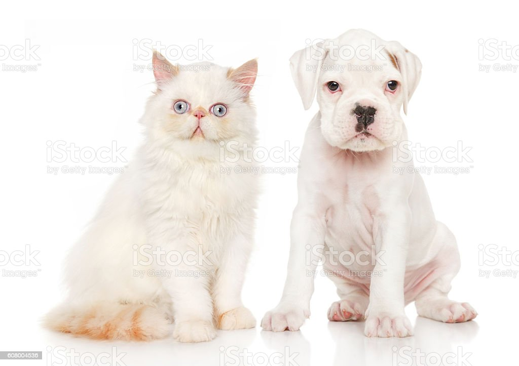 Kitten and puppy together on white stock photo