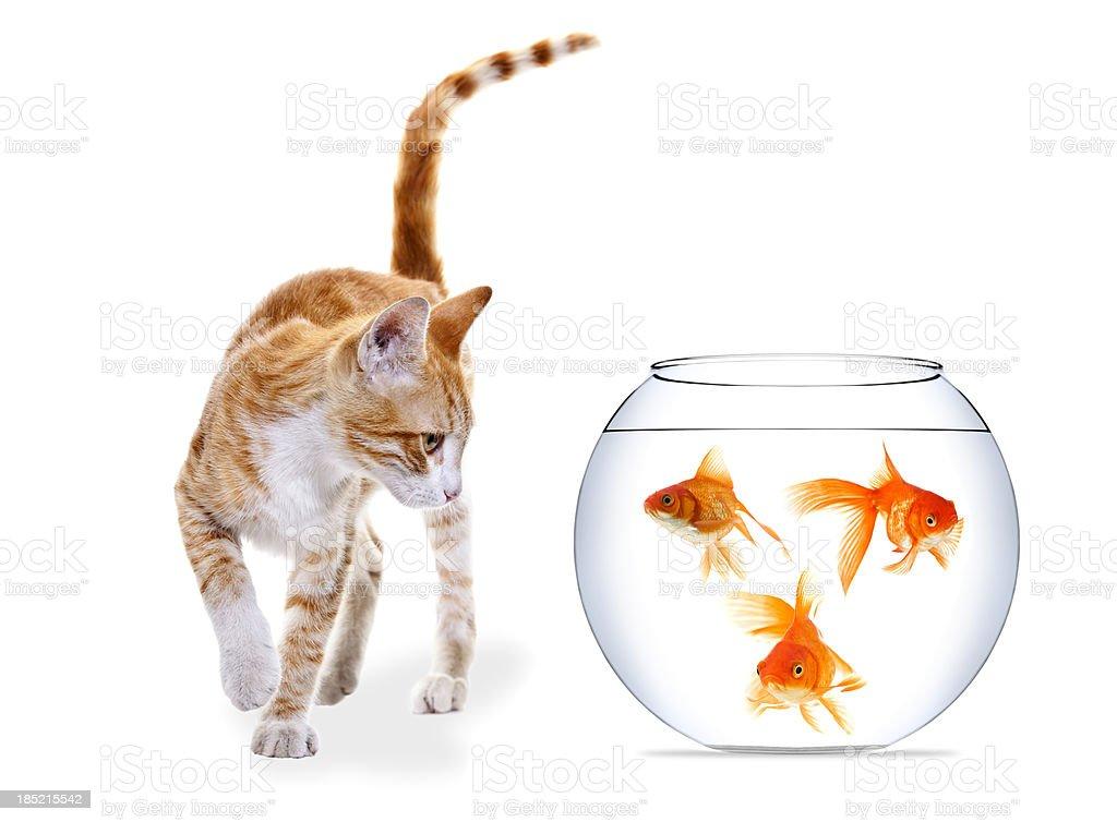 Kitten and three Goldfish royalty-free stock photo