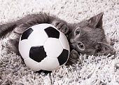 Kitten blue russian cat playing with soccer ball on rug