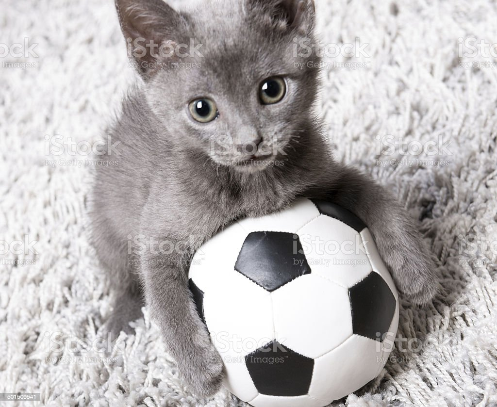 Kitten blue russian cat playing with soccer ball on rug stock photo
