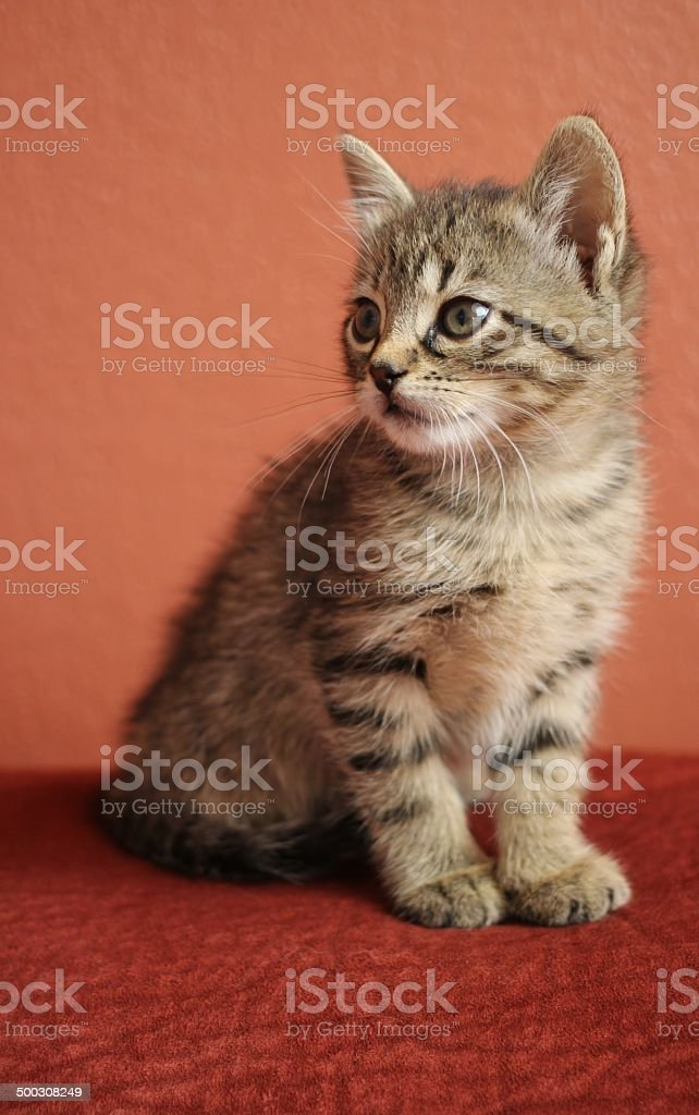 Kitten, cats, baby animal stock photo