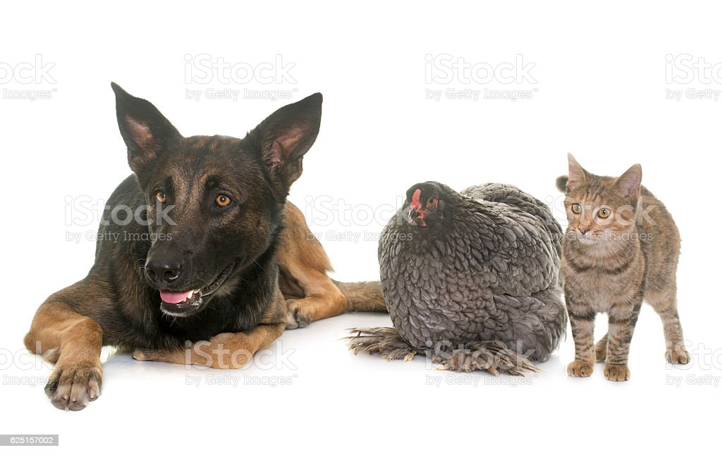 kitten, chicken and malinois stock photo