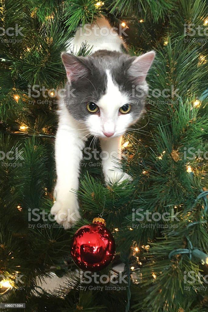 Kitten Climbing Through Christmas Tree stock photo