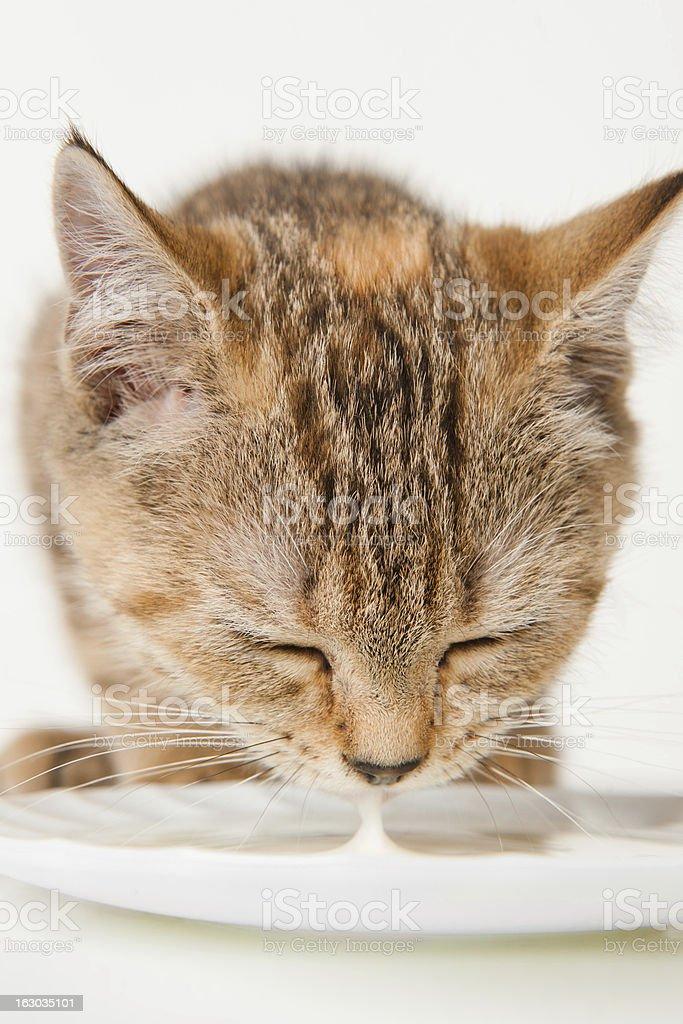 Kitten drinking milk royalty-free stock photo