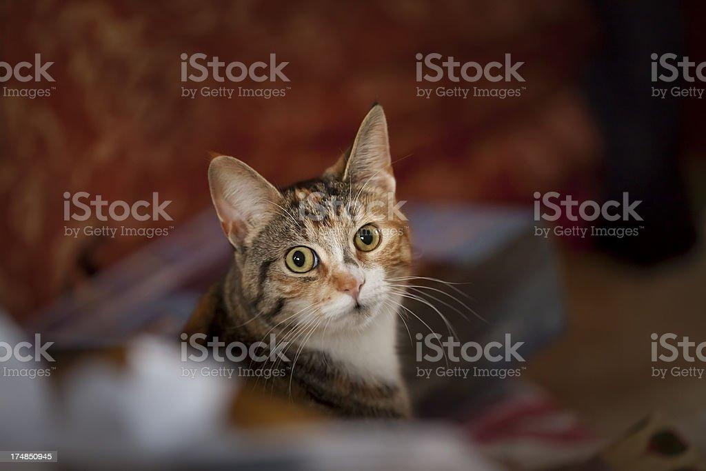 Kitten face eyes looking at camera pet animal royalty-free stock photo