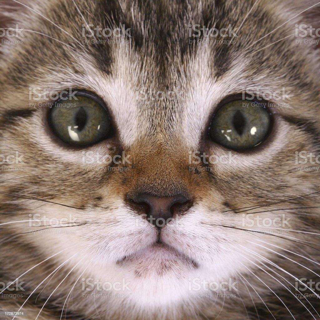 Kitten Face royalty-free stock photo