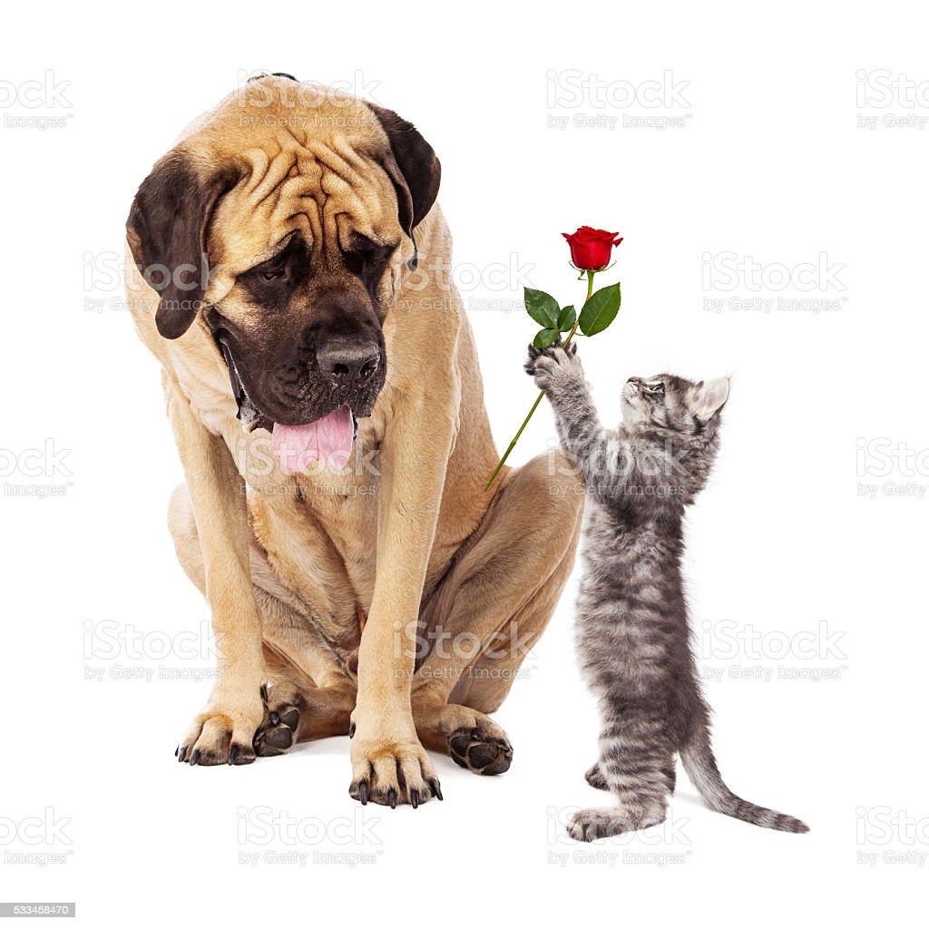Kitten Handing Big Dog a Rose Flower stock photo