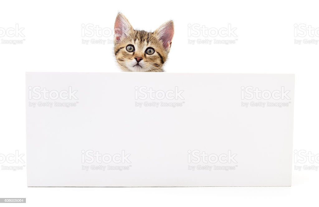 Kitten hanging over blank posterboard. stock photo