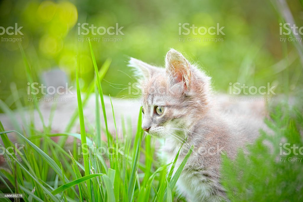 Kitten hiding in the grass looking intently prey stock photo