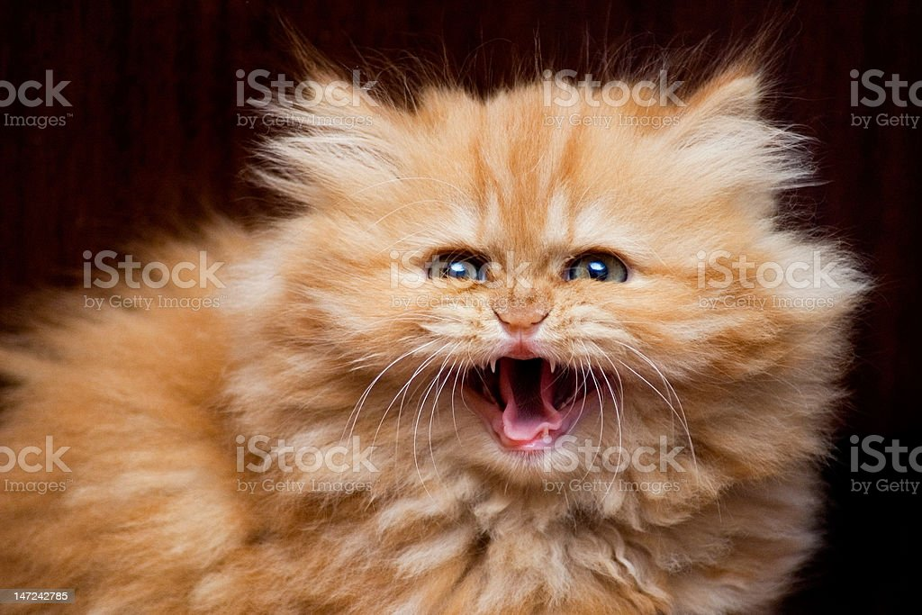 Kitten hisses stock photo