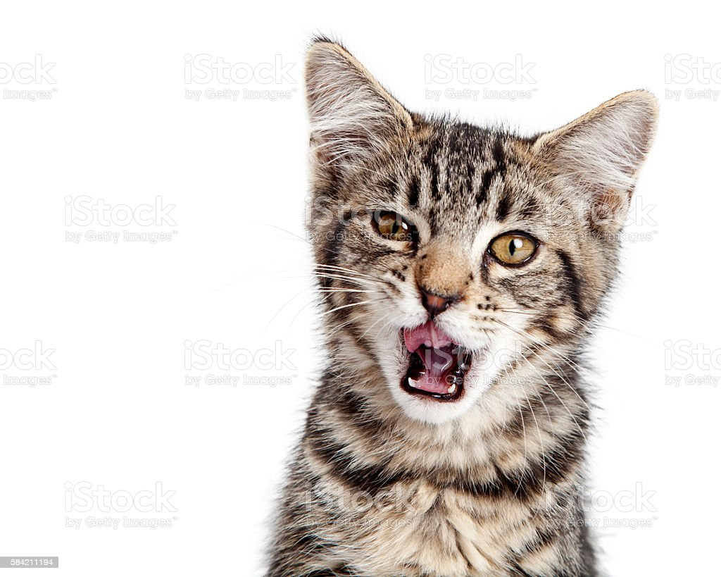 Kitten Hungry Mouth Open Wide stock photo