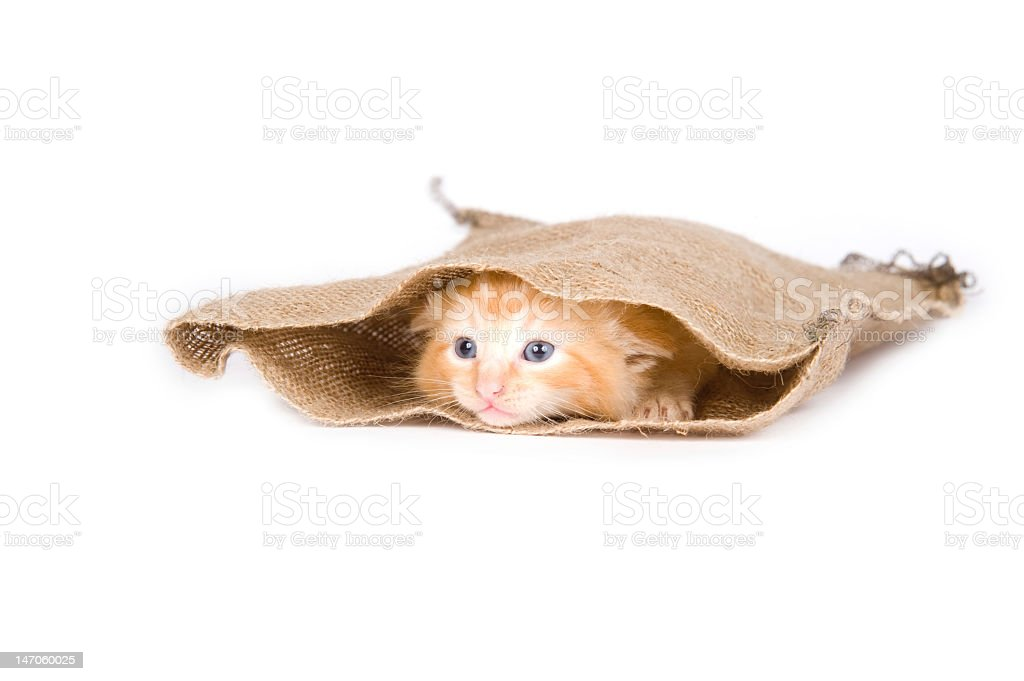 Kitten in a bag royalty-free stock photo
