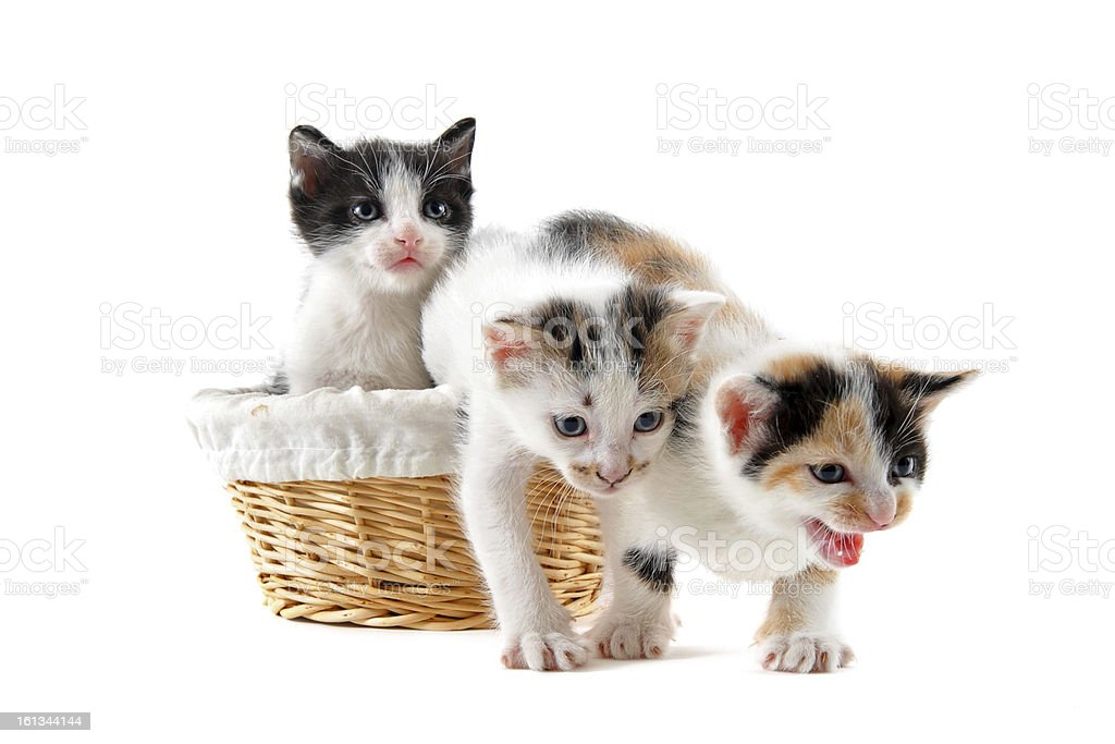 kitten in a basket royalty-free stock photo