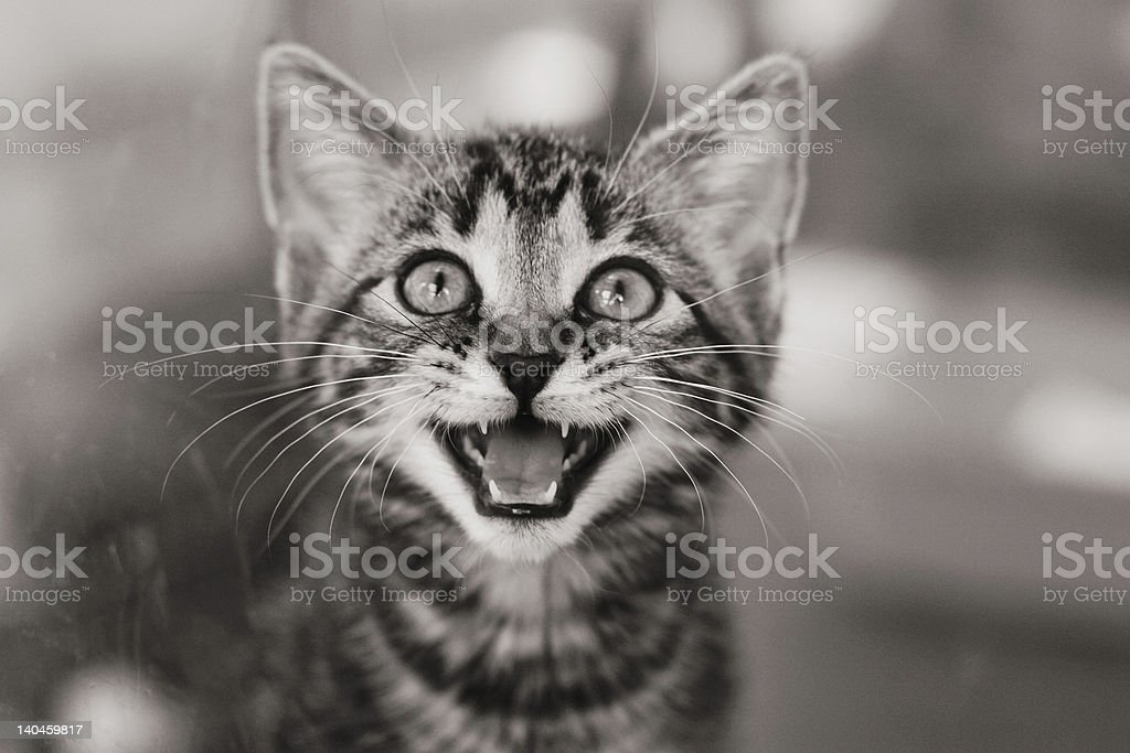 Kitten in a cage meowing royalty-free stock photo