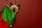 Kitten in a Christmas Stocking