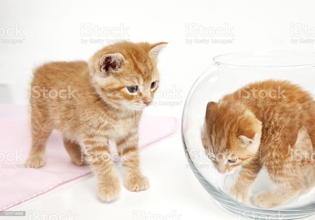 Kitten in a Fishbowl royalty-free stock photo