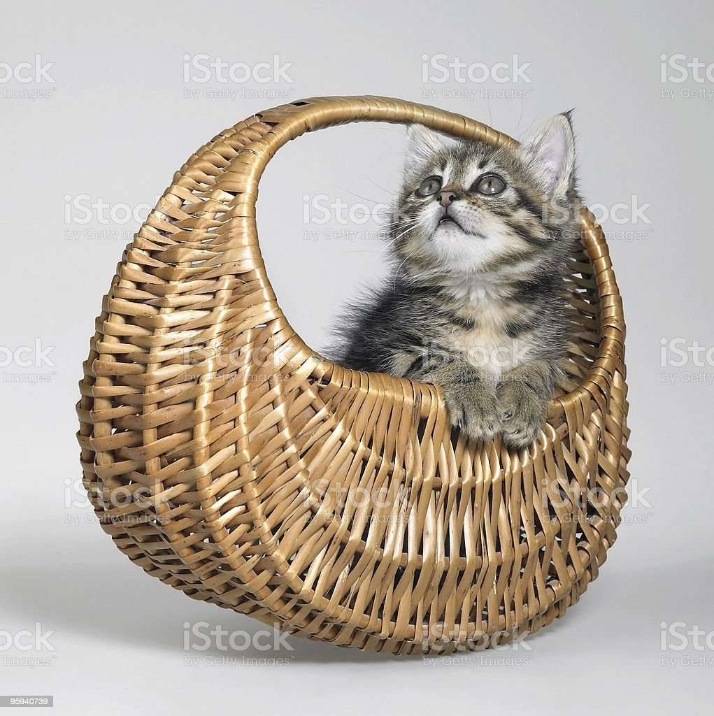 kitten in a small basket royalty-free stock photo
