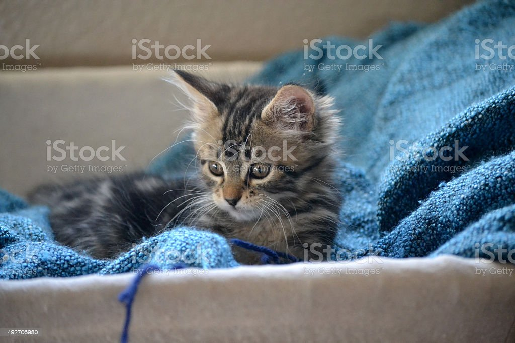kitten in basket playing with yarn stock photo