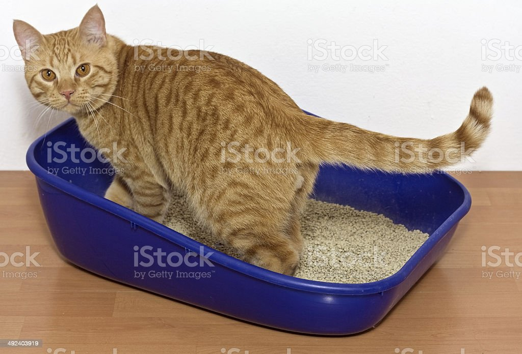 kitten in blue plastic litter cat stock photo