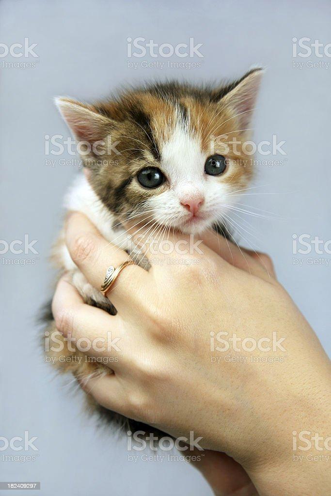Kitten in hands royalty-free stock photo