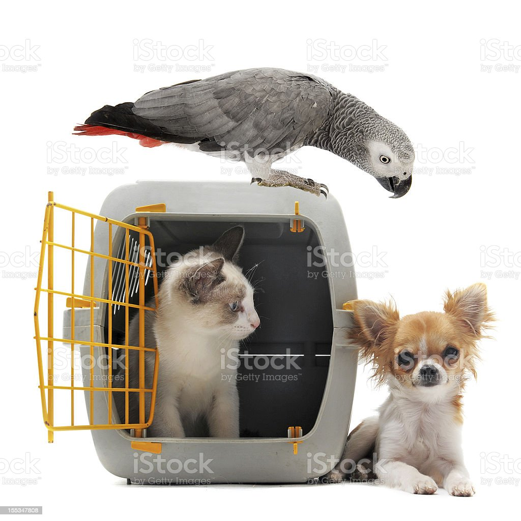 kitten in pet carrier, parrot and chihuahua stock photo