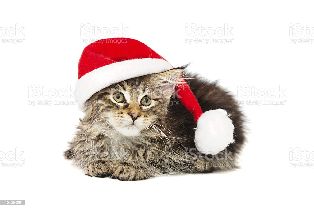kitten in red  hat stock photo