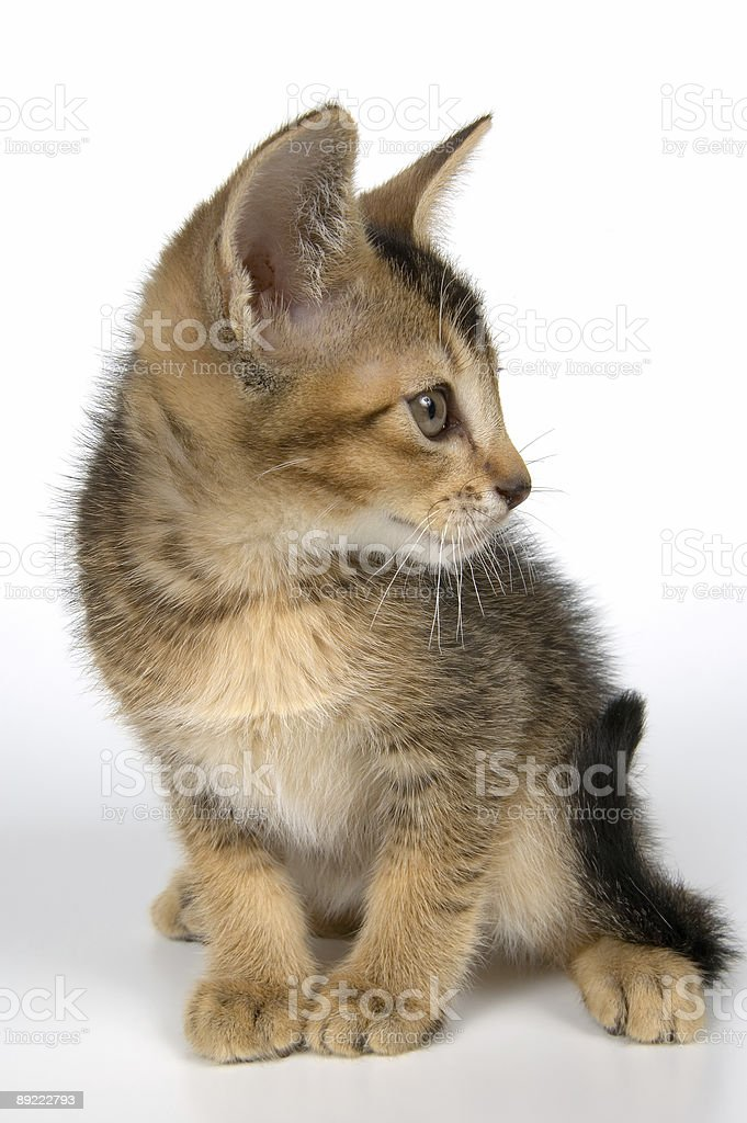 Kitten in studio royalty-free stock photo