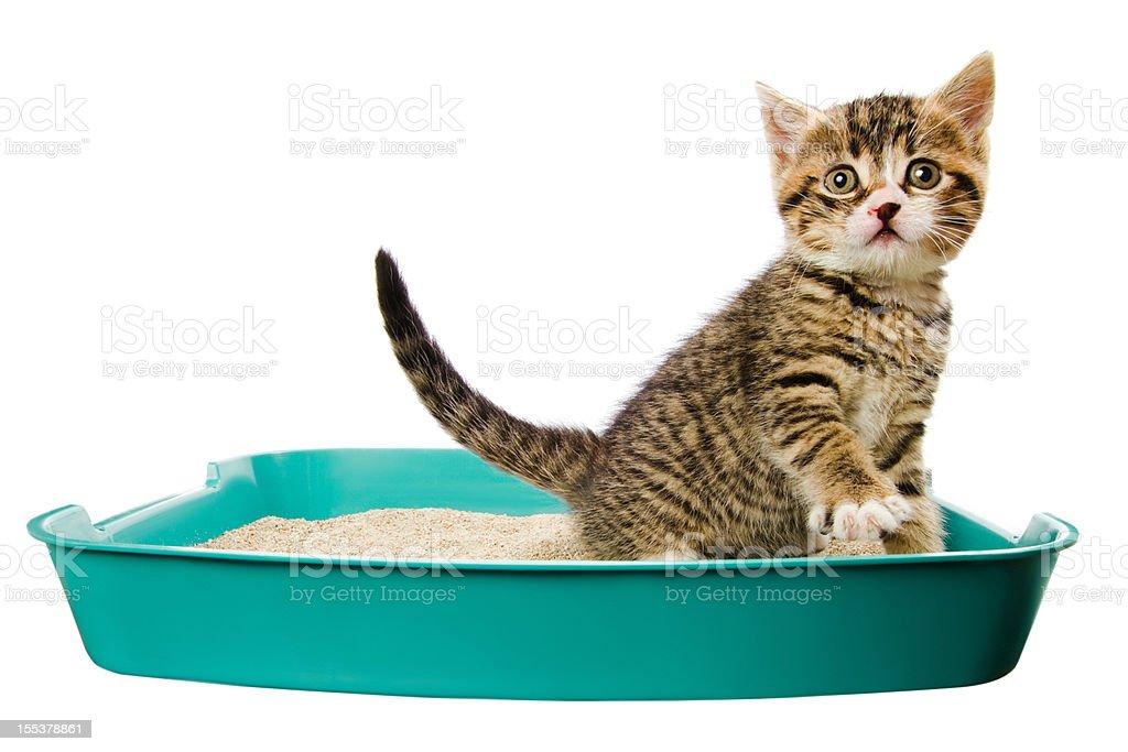 kitten in the litter box stock photo