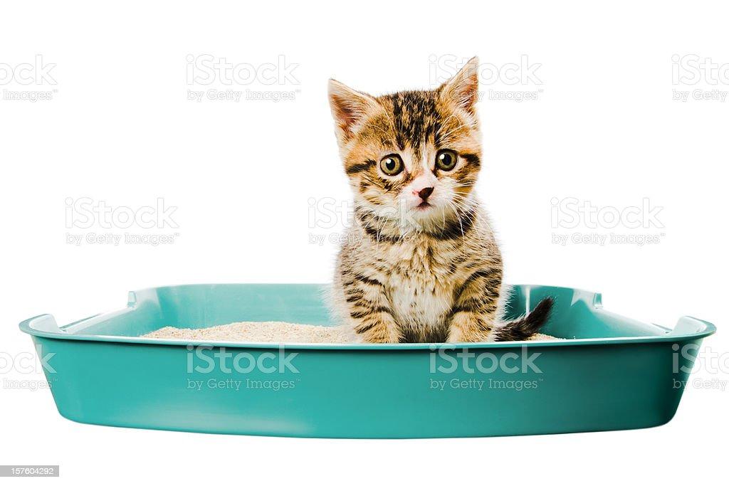 kitten in the litterbox stock photo