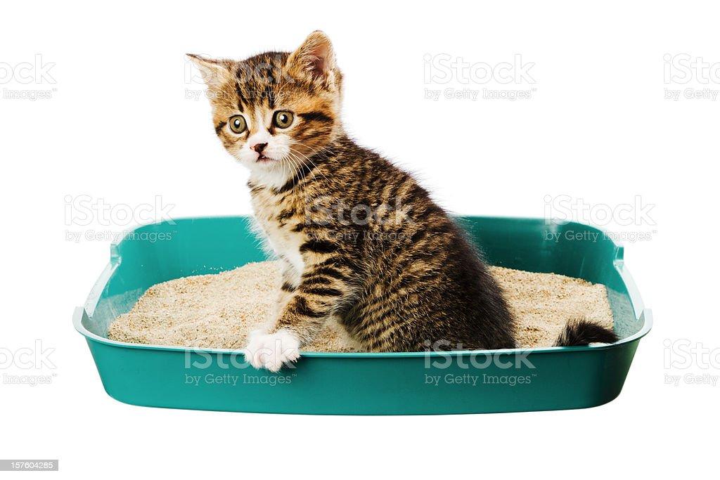 kitten in the tray stock photo