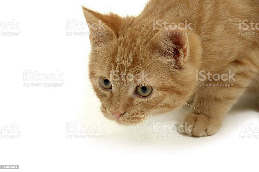 Kitten is hunting royalty-free stock photo