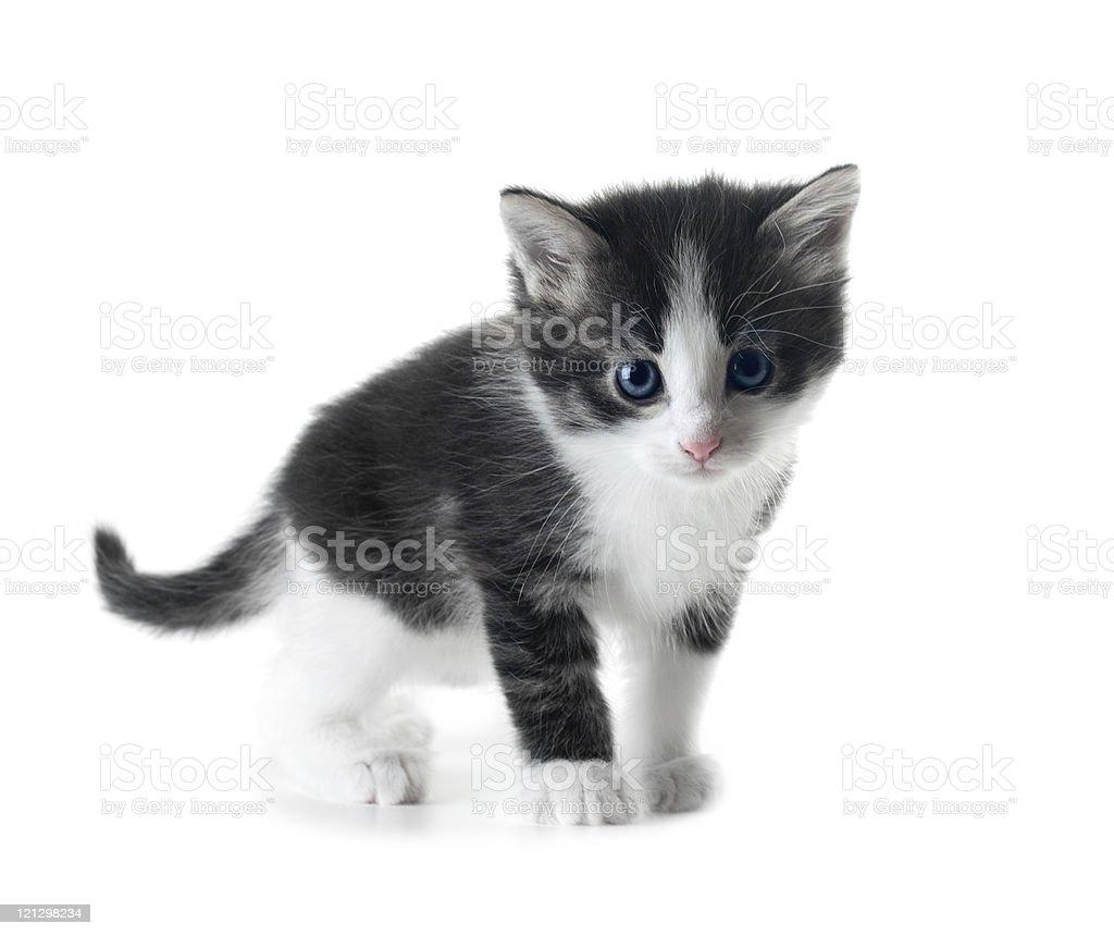 kitten isolated stock photo