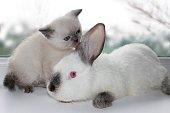 kitten licking a rabbit