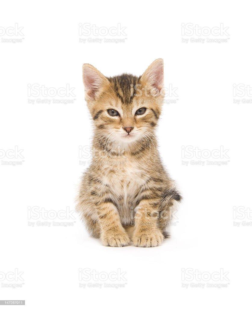 Kitten looking at camera royalty-free stock photo