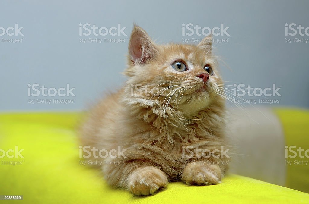 Kitten looking at something royalty-free stock photo