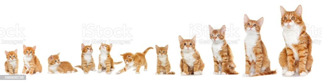 Kitten looking on white background stock photo