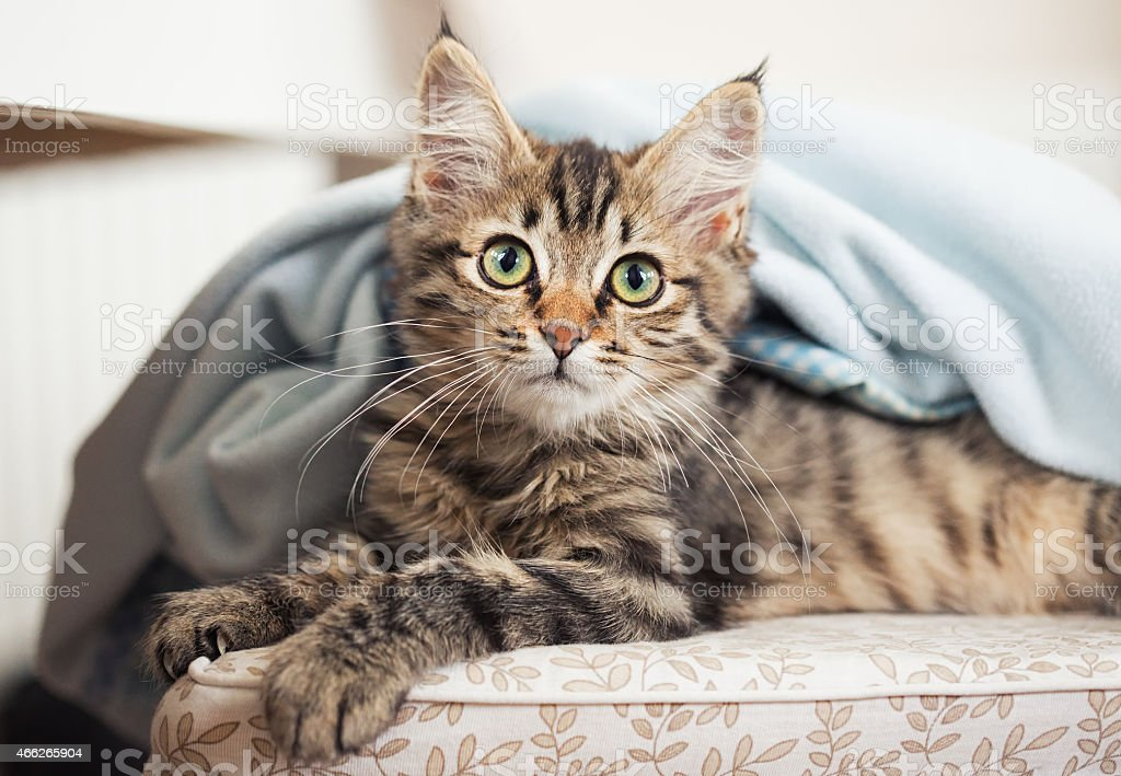 kitten looking out from under blanket stock photo