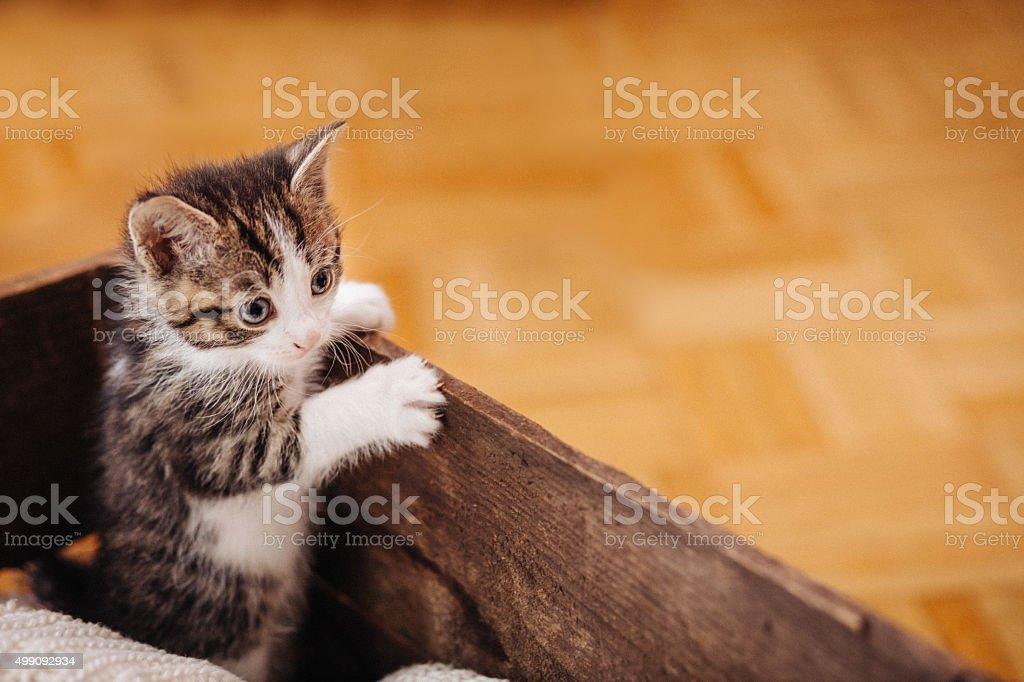 Kitten looking over the side of a wooden box stock photo