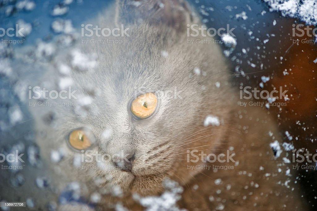 Kitten looking through a snowy window royalty-free stock photo